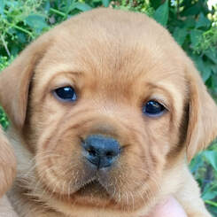 Summer Rose Labradors Puppies